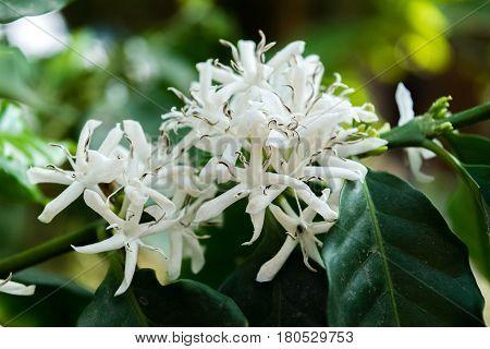 Blossom of coffee bush(Coffea arabica) in Thailand