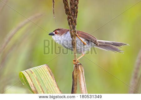 Yellow-eyed Babbler Chrysomma sinense Birds of Thailand