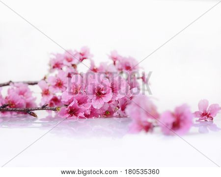 Branch of blossoming tree with pink flowers. Spring flowering. Isolated white background