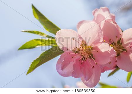 A Beautiful peach flower on the branch