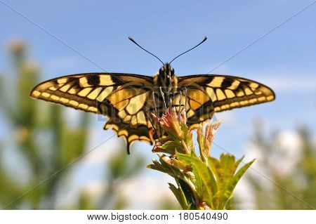 Common Yellow Swallowtail butterfly, Papilio machaon. Butterfly on branch over a blue sky in background