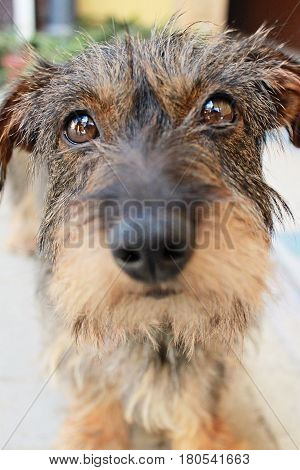 Close-up photo of little dog breed Wirehaired Dachshund selective focus