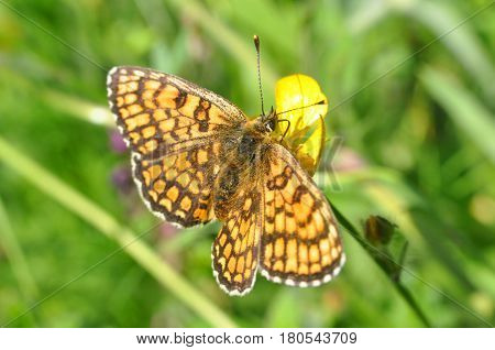 The heath fritillary (Melitaea athalia) Collecting nectar on flower.