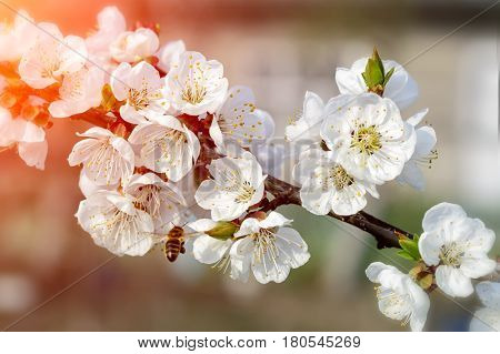 Bees pollinate young tree flowers in the garden, beautiful nature spring flowering trees pollination. Apiculture