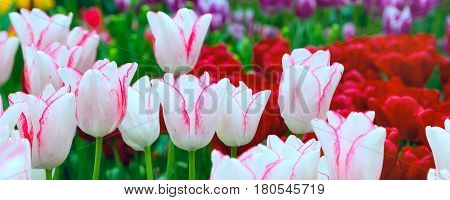 panoramic banner holiday or birthday background with beautiful closeup white with pink tulips flowerbed