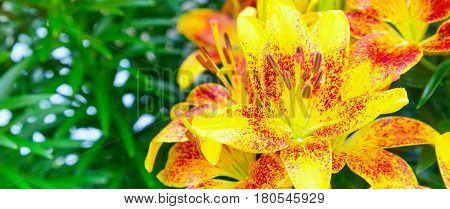 holiday or birthday banner background with beautiful yellow and red lily flower blossom close up