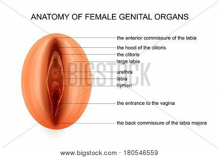 vector illustration of anatomy of female genital organs