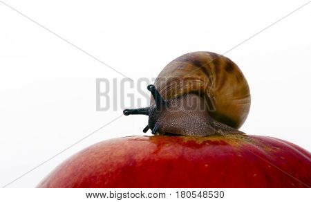 snail of Archachatina marginata ovum sitting on the red apple,  closeup white isolated