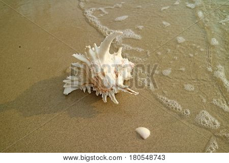 One Natural Murex Ramosus Shell on the Beach approaching by swash, Thailand