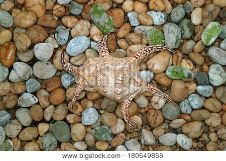 Natural Lambis Chiagra Spider Shell on the Pebble Stone Ground