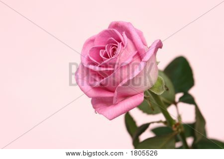 Pink Rose On A Pink Background