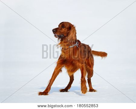 Dog breed Irish Red Setter is going to run after stick. Wintertime horizontal outdoors image.