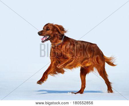 Happy dog breed Irish Red Setter runs across the snow field. Wintertime horizontal outdoors image.