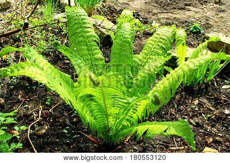 Fern. The fern grew in the garden. Still young, small leaves, its delicate green color soothe, soothe sight. In summer, the Bush will grow and become a chic Bush