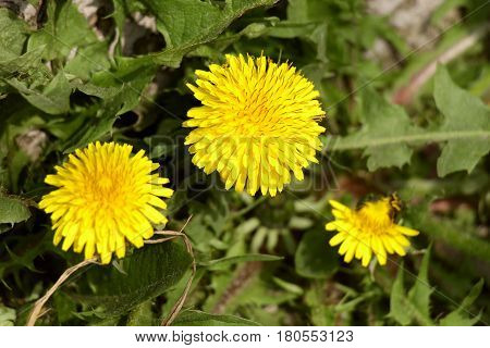 Dandelion. Fun, happy, and Sunny yellow flower. It is a flower of childhood. It is filled with warmth and love. Dandelion for some time brings us back to childhood.