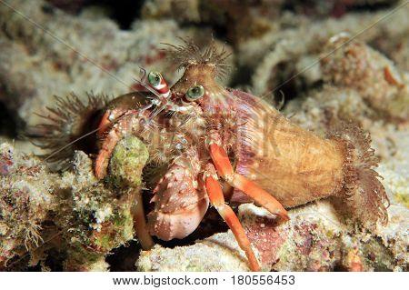 Anemone Hermit Crab (Dardanus pedunculatus). Dampier Strait Raja Ampat Indonesia
