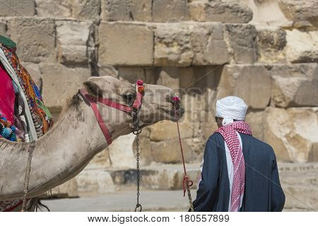 Egyptian Camel At Giza Pyramids Background. Tourist Attraction - Horseback Riding On A Camel. Tradit