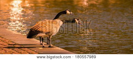 Close-up of two Canada Geese at the Lake. Canada Goose
