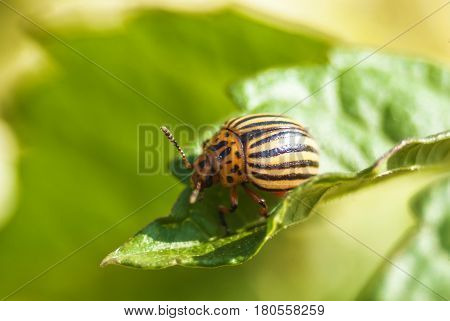 Potato Beetle On The Potato Leaf Close Up Micro View