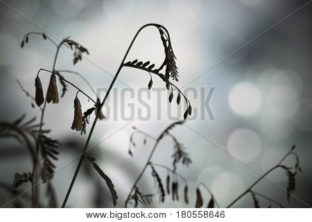 Silhouetted stems of a waterside legume plant