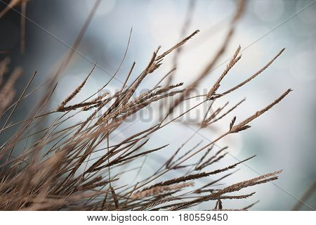 Closeup of dry flowering grass stems with light background