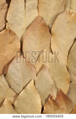 Closeup detail of dried aromatic bay leaves