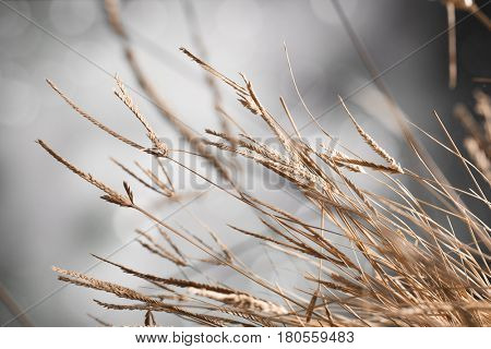Macro of a clump of dry grass stems