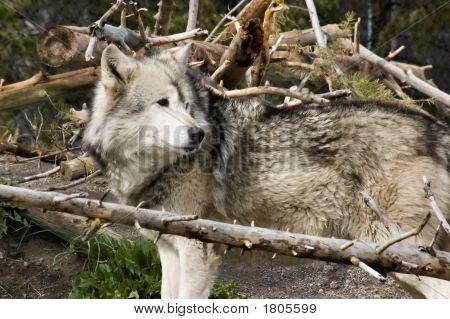 Grey Wolf 8