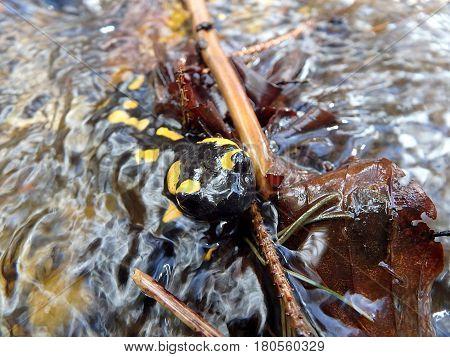 fire salamander , (Salamandra salamandra) , amphibian ,