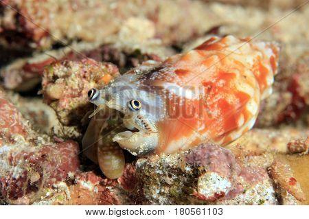 Unidentified Strombus Species. Dampier Strait Raja Ampat Indonesia