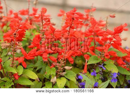 Red Salvia brilliant Latin Salvia splendens - species of plants of the genus Salvia of the family Lamiaceae.