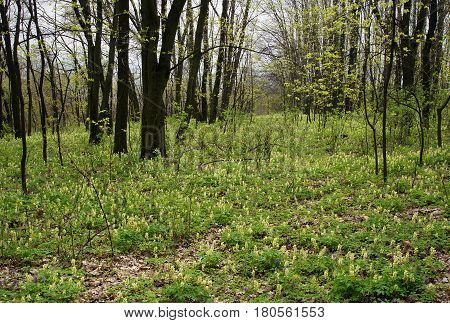 Forest floor in early spring with yellow corydalis