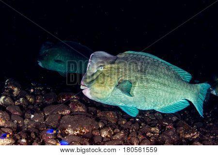 Bumphead Parrotfish Close Up Portrait Underwater Detail