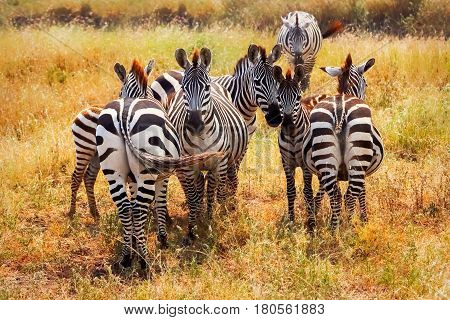 Group of zebras in african savannah. National park Serengeti. Tanzania.
