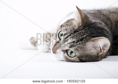 Katze; getigert; grüne Augen; weißer Hintergrund; high key; cat; tabby; green eyes; white Background