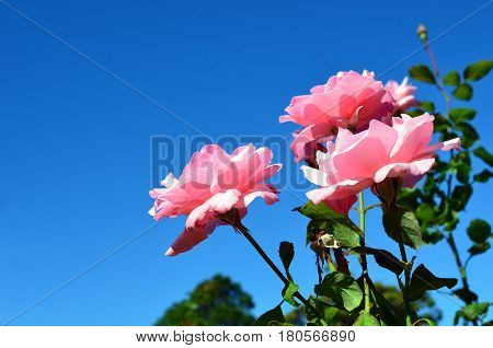 Pink rose flowers and buds back lit by sunlight under a clear blue sky