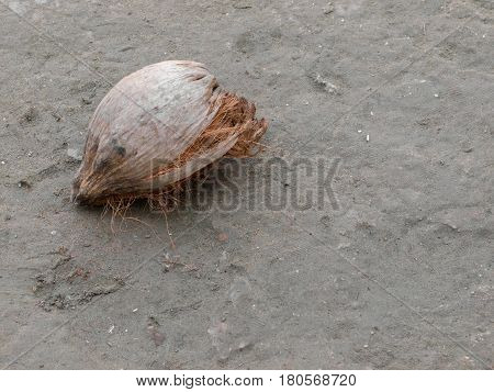 COLOR PHOTO OF DRY COCONUT ON THE GROUND