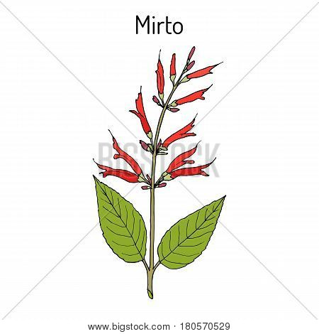 Mirto Salvia elegans , called also pineapple or tangerine sage, medicinal plant. Hand drawn botanical vector illustration