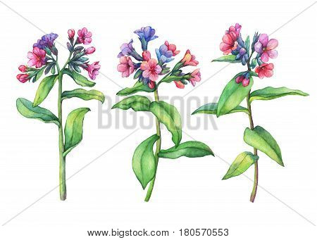 Set of  first spring wild flowers - Dark lungwort medicinal (Pulmonaria officinalis). Hand drawn watercolor painting on white background.