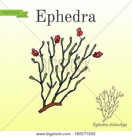 Red berries herb ephedra distachya, or Ma Huang medicinal plant. Hand drawn botanical vector illustration