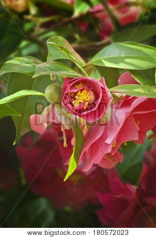 Closeup of Deep pink Camellia Flower unfolding its partial blossom