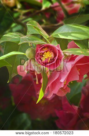 Closeup of Deep pink Camellia Flower unfolding its partial blossom