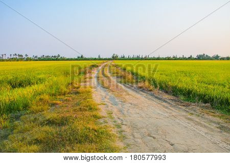 rural road and rice farm in evening