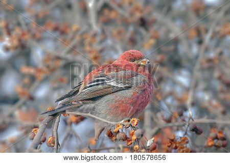 a beautiful bird with bright red feathers sitting on a branch and pecks of berries