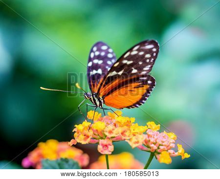 Golden Helicon Butterfly feeding on yellow and pink wild flowers.