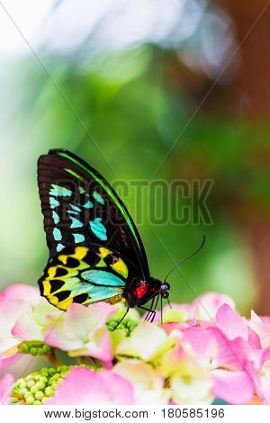 Cairns birdwing butterfly also called the Cooktown and north birdwing butterfly sitting and feeding on some pink colored flowers.