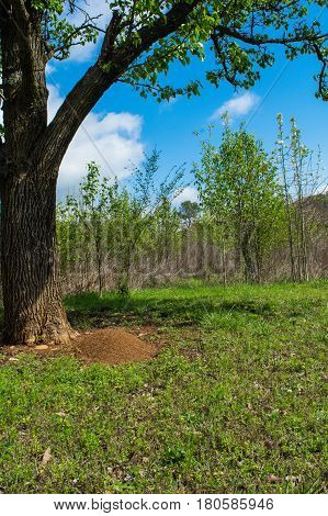 A large Fire Ant mound at the base of a tree at Pigeon Mountain Georgia.