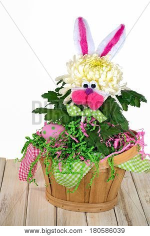 Easter bunny chrysanthemum plant in basket with polka dot egg on whitewashed wood