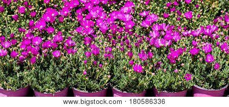 fuchsia gerbera flowers in fuchsia vases in the sun