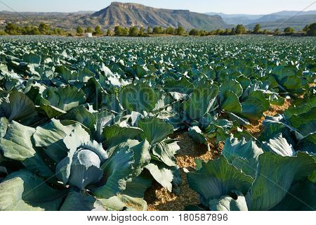 cabbage field in Serranos area of Valencia Spain